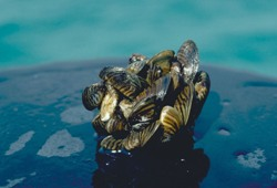 Photo: Cluster of Zebra Mussels